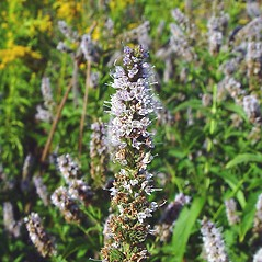 Flowers: Mentha spicata. ~ By Arthur Haines. ~ Copyright © 2020. ~ arthurhaines[at]wildblue.net