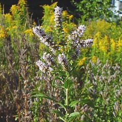 Plant form: Mentha spicata. ~ By Arthur Haines. ~ Copyright © 2020. ~ arthurhaines[at]wildblue.net