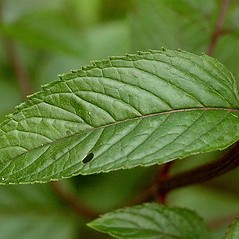 Leaves: Mentha spicata. ~ By James Lindsey. ~ Copyright © 2020 James Lindsey. ~ No permission required for non-commercial uses ~ Ecology of Commanster - www.commanster.eu/commanster.html