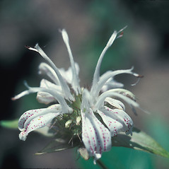 Flowers: Monarda clinopodia. ~ By John Lynch. ~ Copyright © 2020 New England Wild Flower Society. ~ Image Request, images[at]newenglandwild.org