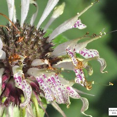 Fruits: Monarda clinopodia. ~ By Derick B. Poindexter. ~ Copyright © 2020 Derick B. Poindexter. ~ dpoindex[at]live.unc.edu ~ Vascular Flora of Alleghany County, NC - vascularflora.appstate.edu/