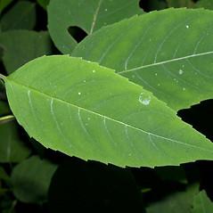 Leaves: Monarda clinopodia. ~ By Keir Morse. ~ Copyright © 2020 Keir Morse. ~ www.keiriosity.com ~ www.keiriosity.com
