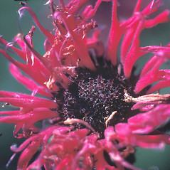 Flowers: Monarda didyma. ~ By Dorothy Long. ~ Copyright © 2021 New England Wild Flower Society. ~ Image Request, images[at]newenglandwild.org