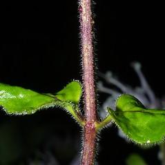 Stems: Monarda fistulosa. ~ By Steven Baskauf. ~ Copyright © 2021 CC-BY-NC-SA. ~  ~ Bioimages - www.cas.vanderbilt.edu/bioimages/frame.htm