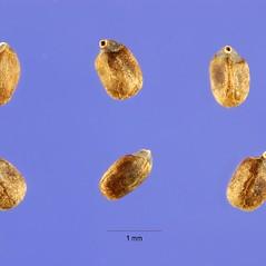 Fruits: Monarda punctata. ~ By Steve Hurst. ~  Public Domain. ~  ~ USDA-NRCS Plants Database - plants.usda.gov/java/