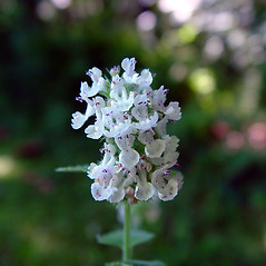 Flowers: Nepeta cataria. ~ By Arthur Haines. ~ Copyright © 2021. ~ arthurhaines[at]wildblue.net