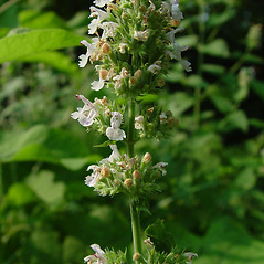Flowers: Nepeta cataria. ~ By Arthur Haines. ~ Copyright © 2020. ~ arthurhaines[at]wildblue.net