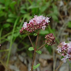Flowers: Origanum vulgare. ~ By Arthur Haines. ~ Copyright © 2021. ~ arthurhaines[at]wildblue.net