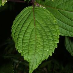 Leaves: Perilla frutescens. ~ By Steven Baskauf. ~ Copyright © 2020 CC-BY-NC-SA. ~  ~ Bioimages - www.cas.vanderbilt.edu/bioimages/frame.htm