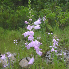Flowers: Physostegia virginiana. ~ By Donald Cameron. ~ Copyright © 2020 Donald Cameron. ~ No permission needed for non-commercial uses, with proper credit