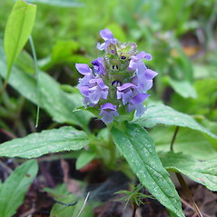 Flowers: Prunella vulgaris. ~ By Arthur Haines. ~ Copyright © 2021. ~ arthurhaines[at]wildblue.net