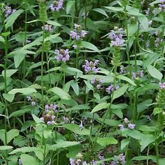 Plant form: Prunella vulgaris. ~ By Arieh Tal. ~ Copyright © 2021 Arieh Tal. ~ www.nttlphoto.com ~ Arieh Tal - www.nttlphoto.com
