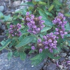 Plant form: Prunella vulgaris. ~ By Frank Bramley. ~ Copyright © 2019 New England Wild Flower Society. ~ Image Request, images[at]newenglandwild.org