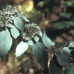 Flowers: Pycnanthemum incanum. ~ By Lawrence Newcomb. ~ Copyright © 2020 New England Wild Flower Society. ~ Image Request, images[at]newenglandwild.org