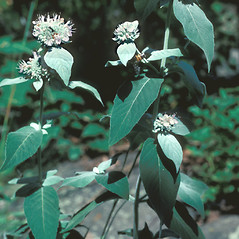 Plant form: Pycnanthemum incanum. ~ By Jean Baxter. ~ Copyright © 2020 New England Wild Flower Society. ~ Image Request, images[at]newenglandwild.org
