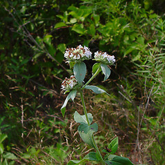 Plant form: Pycnanthemum muticum. ~ By Arthur Haines. ~ Copyright © 2020. ~ arthurhaines[at]wildblue.net