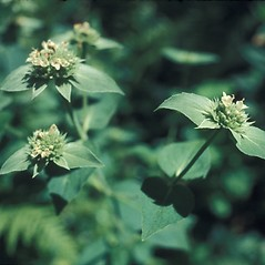 Plant form: Pycnanthemum muticum. ~ By Lawrence Newcomb. ~ Copyright © 2020 New England Wild Flower Society. ~ Image Request, images[at]newenglandwild.org