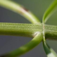 Stems: Pycnanthemum tenuifolium. ~ By John Gwaltney. ~ Copyright © 2020 John Gwaltney. ~ southeasternflora.com ~ Southeastern Flora - www.southeasternflora.com/
