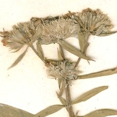 Fruits: Pycnanthemum torrei. ~ By William and Linda Steere and the C.V. Starr Virtual Herbarium. ~ Copyright © 2019 William and Linda Steere and the C.V. Starr Virtual Herbarium. ~ Barbara Thiers, Director; bthiers[at]nybg.org ~ C.V. Starr Herbarium - NY Botanical Gardens