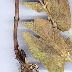Stems: Salvia verticillata. ~ By Dr. Nasip Demirkus. ~ Copyright © 2020 Dr. Nasip Demirkus. ~ nasip[at]hotmail.com