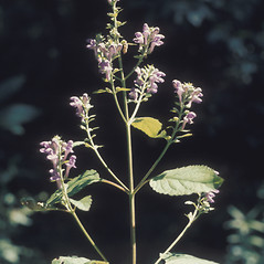 Plant form: Scutellaria altissima. ~ By Lawrence Newcomb. ~ Copyright © 2020 New England Wild Flower Society. ~ Image Request, images[at]newenglandwild.org