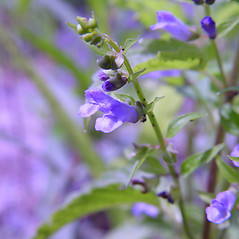 Flowers: Scutellaria lateriflora. ~ By Arthur Haines. ~ Copyright © 2021. ~ arthurhaines[at]wildblue.net