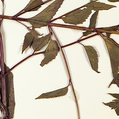 Stems: Scutellaria lateriflora. ~ By Florida State University Godfrey Herbarium. ~ Copyright © 2021 CC BY-NC-SA 3.0. ~  ~ Morphbank - Biological Imaging - www.morphbank.net