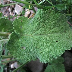 Leaves: Stachys germanica. ~ By Franco Giordana. ~ Copyright © 2020 Franco Giordana. ~ francogrd[at]gmail.com ~ Acta Plantarum -  www.actaplantarum.org