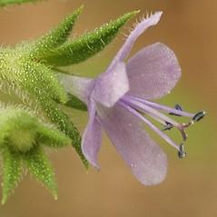 Flowers: Trichostema brachiatum. ~ By Darel Hess. ~ Copyright © 2021 CC-BY-NC-SA. ~  ~ Bioimages - www.cas.vanderbilt.edu/bioimages/frame.htm