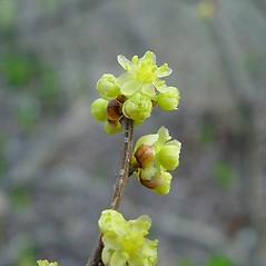 Flowers: Lindera benzoin. ~ By Arthur Haines. ~ Copyright © 2020. ~ arthurhaines[at]wildblue.net