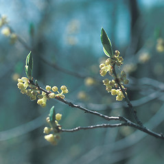 Flowers: Lindera benzoin. ~ By John Lynch. ~ Copyright © 2020 New England Wild Flower Society. ~ Image Request, images[at]newenglandwild.org