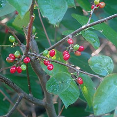 Fruits: Lindera benzoin. ~ By Cayte McDonough. ~ Copyright © 2020 New England Wild Flower Society. ~ Image Request, images[at]newenglandwild.org