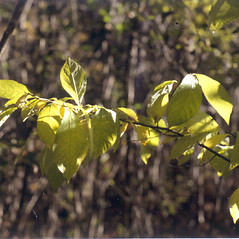 Leaves: Lindera benzoin. ~ By Donald Cameron. ~ Copyright © 2020 Donald Cameron. ~ No permission needed for non-commercial uses, with proper credit