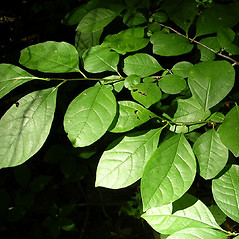 Leaves: Lindera benzoin. ~ By Karen Searcy. ~ Copyright © 2020 Karen Searcy. ~ ksearcy[at]bio.umass.edu