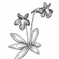 Plant form: Pinguicula vulgaris. ~ By Elizabeth Farnsworth. ~ Copyright © 2020 New England Wild Flower Society. ~ Image Request, images[at]newenglandwild.org