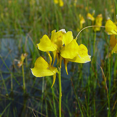 Flowers: Utricularia cornuta. ~ By Arthur Haines. ~ Copyright © 2020. ~ arthurhaines[at]wildblue.net