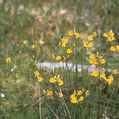 Plant form: Utricularia cornuta. ~ By Raymond Sprague. ~ Copyright © 2020 New England Wild Flower Society. ~ Image Request, images[at]newenglandwild.org
