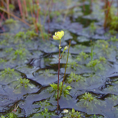 Plant form: Utricularia geminiscapa. ~ By Arthur Haines. ~ Copyright © 2021. ~ arthurhaines[at]wildblue.net