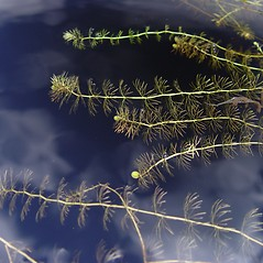 Plant form: Utricularia intermedia. ~ By Donald Cameron. ~ Copyright © 2020 Donald Cameron. ~ No permission needed for non-commercial uses, with proper credit
