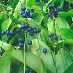 Fruits: Clintonia borealis. ~ By Donna Kausen. ~ Copyright © 2020 Donna Kausen. ~ 33 Bears Den, Addison, ME 04606
