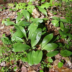 Plant form: Clintonia borealis. ~ By Donald Cameron. ~ Copyright © 2021 Donald Cameron. ~ No permission needed for non-commercial uses, with proper credit