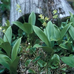 Plant form: Clintonia borealis. ~ By Frank Bramley. ~ Copyright © 2021 New England Wild Flower Society. ~ Image Request, images[at]newenglandwild.org