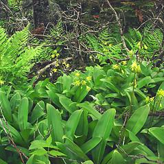 Plant form: Clintonia borealis. ~ By Glen Mittelhauser. ~ Copyright © 2020 Glen Mittelhauser. ~ www.mainenaturalhistory.org