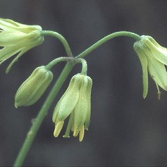 Inflorescences: Clintonia borealis. ~ By Albert Bussewitz. ~ Copyright © 2019 New England Wild Flower Society. ~ Image Request, images[at]newenglandwild.org