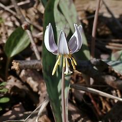 Flowers: Erythronium albidum. ~ By Paul S. Drobot. ~ Copyright © 2021 Paul S. Drobot. ~ www.plantstogrow.com, www.plantstockphotos.com ~ Robert W. Freckmann Herbarium, U. of Wisconsin-Stevens Point