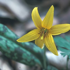 Flowers: Erythronium americanum. ~ By Dorothy Long. ~ Copyright © 2021 New England Wild Flower Society. ~ Image Request, images[at]newenglandwild.org