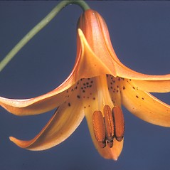 Flowers: Lilium canadense. ~ By Adelaide Pratt. ~ Copyright © 2021 New England Wild Flower Society. ~ Image Request, images[at]newenglandwild.org