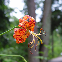 Flowers: Lilium superbum. ~ By Arthur Haines. ~ Copyright © 2021. ~ arthurhaines[at]wildblue.net