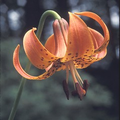 Flowers: Lilium superbum. ~ By John Lynch. ~ Copyright © 2021 New England Wild Flower Society. ~ Image Request, images[at]newenglandwild.org