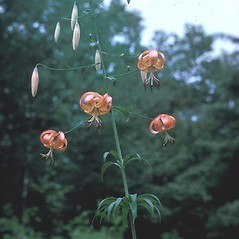 Plant form: Lilium superbum. ~ By Lawrence Newcomb. ~ Copyright © 2020 New England Wild Flower Society. ~ Image Request, images[at]newenglandwild.org